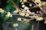 蝋梅の花の写真素材02