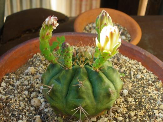 サボテンの花の写真素材