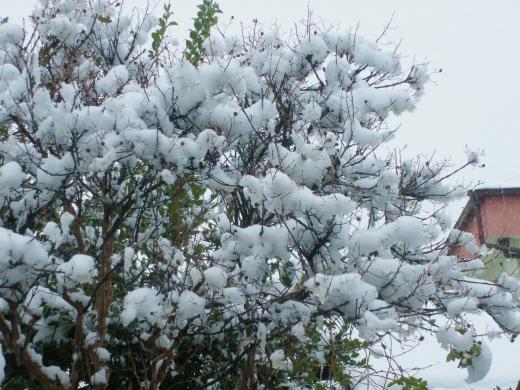 サルスベリと雪の写真素材