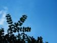 サルスベリの葉と空の写真素材