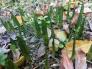スノーフレークの芽の写真素材