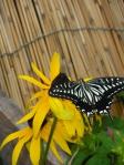 ルドベキアとアゲハ蝶の写真素材