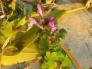 ホトケノザの写真素材