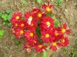 道端に咲く赤い菊の写真素材