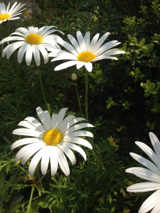 白い菊の写真素材