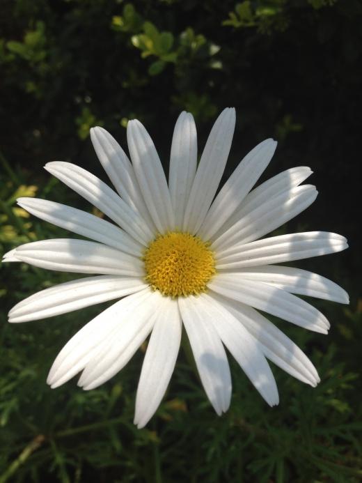 白い菊の写真素材02