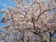 桜の写真素材04