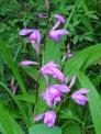 紫蘭の写真素材