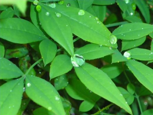 葉と水滴の写真素材01