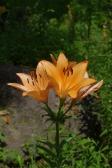 オレンジ色のユリの写真素材