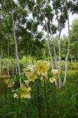 ユリと白樺の写真素材