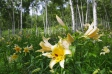 ユリと白樺の写真素材02