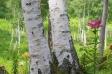 ユリと白樺の写真素材04