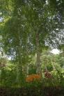 ユリと白樺の写真素材05
