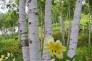 ユリと白樺の写真素材06