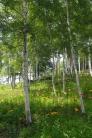 ユリと白樺の写真素材07